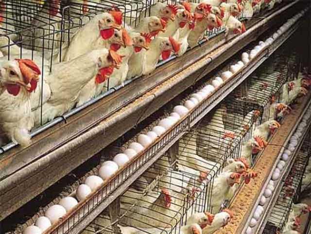 رشد ۱۵.۲ درصدی نرخ تورم سالیانه تولید در مرغداریها