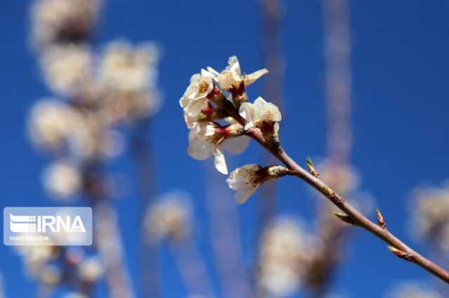 شکوفه زدن زودهنگام درختان در بجنورد/تصاویر