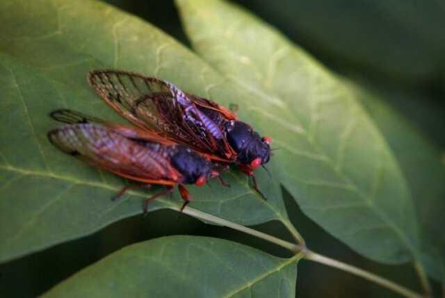 حشرهای که هر ۱۷ سال یکبار از زیر زمین بیرون میآید