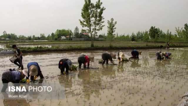 قطع آب کشاورزی شالیزارهای مناطق مرکزی گیلان از فردا