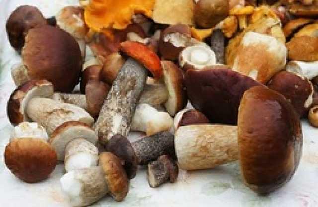 تاثیر برخی قارچها بر تقویت سیستم ایمنی بدن