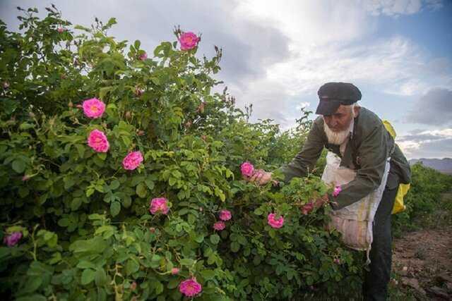 وقتی گرمای هوا بر سر ارزش غنچه های گل محمدی در گلستان های خراسان شمالی می زند