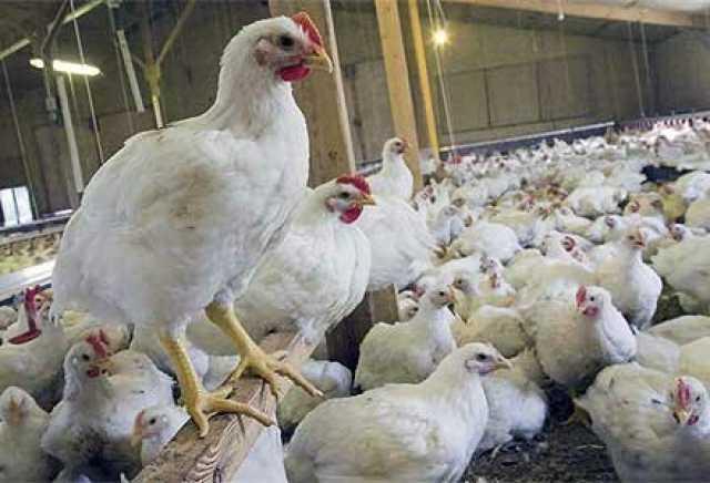 تخصیص نهاده برای پرورش جوجه گوشتی تا ۴۰ روز