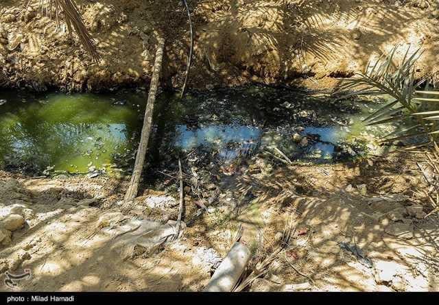 نخلهای شهر خنافره ماهشهر در آستانه نابودی