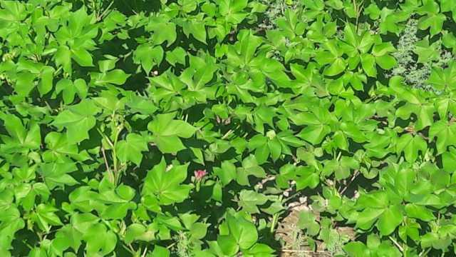 توسعه کشت گیاه پنبه در سطح ۴۰ هکتار از اراضی قیروکارزین