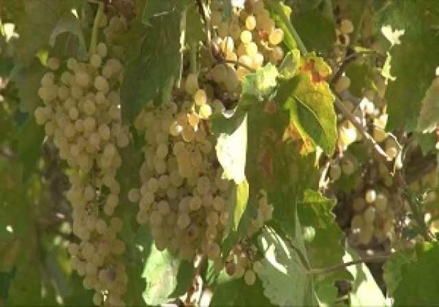 برداشت انگور از ۵۰۰ هکتار تاکستانهای شهرستان خوانسار