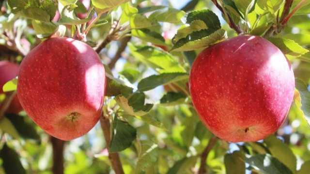 کاهش ۵۰ درصدی صادرات سیب درختی در مهاباد