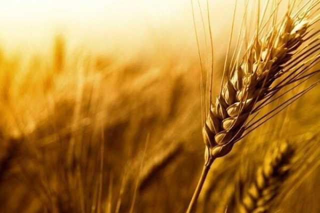 انتظار افزایش ۲۰ درصدی تولید در مزارع گندم بنیان شیراز
