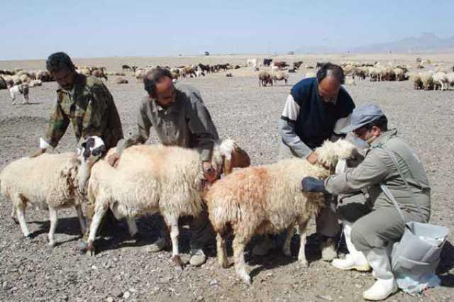 بیش از ۳ میلیون راس از دامهای روستایی و عشایری واکسینه میشوند