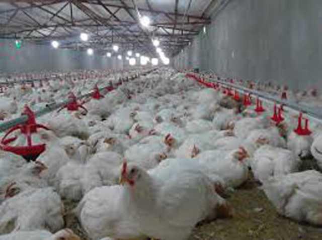 استان اصفهان رتبه دوم کشور در تولید مرغ دارد