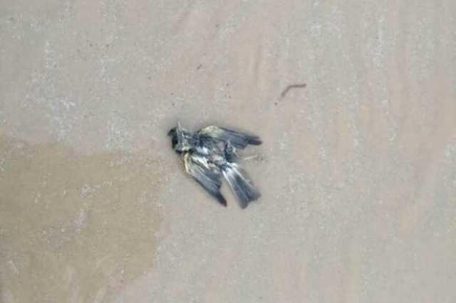 تلفشدن پرندگان در ساحل شهرستان گناوه/ علت در حال بررسی است