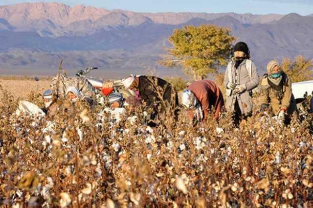 هزار و 500 تن پنبه از مزارع تایباد برداشت شد - جماران